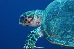 Hawksbill Turtle off Yolanda Reef, Red Sea. by Dawn Thomas 